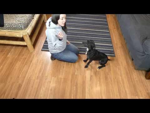 How to Teach a Dog to Shake Paw
