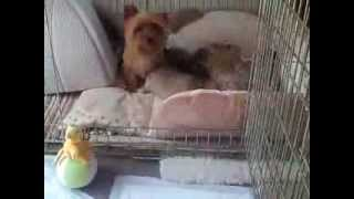 Yo- Chon Puppies  At Scarletstrue