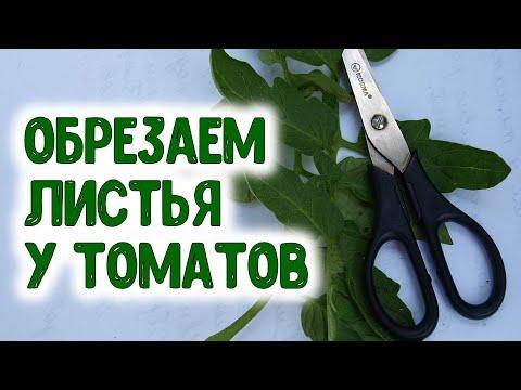 Для получения высокого урожая томатов нужно так обрезать листья