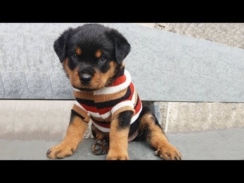 Funniest and Cutest Rottweiler Dogs and Puppies