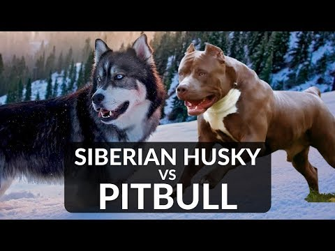 PITBULL vs SIBERIAN HUSKY