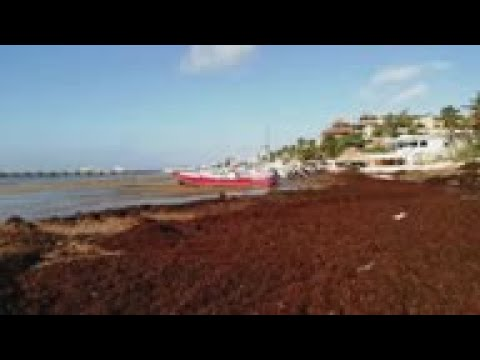 Mexican beaches threatened by algae invasion