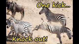 Zebra kicks blue wildebeest lights-out!