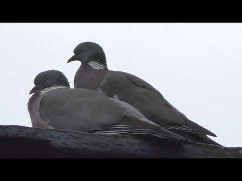Wood Pigeons Copulating And Courting