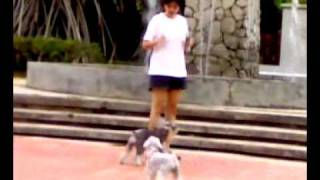 Jogging With Two Miniature Schnauzer