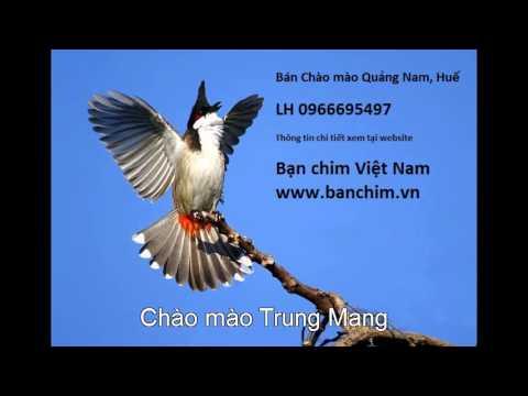 Luyện giọng Chào mào Sông Kôn, Trung Mang, Đông Giang, Quảng Nam