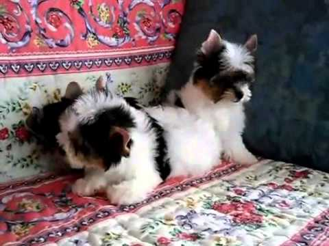 Micro Teacup Poodles Vs Biewer Yorkie