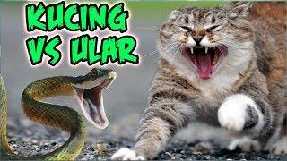kucing paling galak gak ada takutnya lucu banget kucing berantem