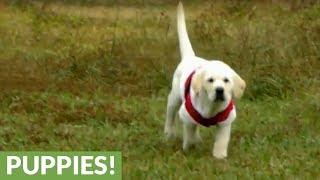 Labrador puppy loves Christmas, wears Santa costume