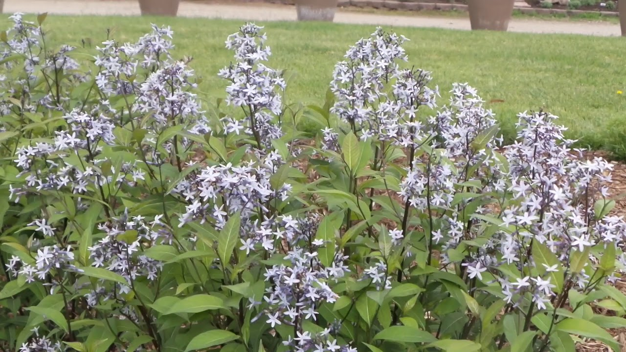 Blue Star Amsonia Storm Cloud Gardencrossings Youtube