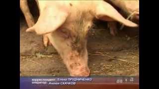 280812 - СЮЖЕТ - Прививка свиней