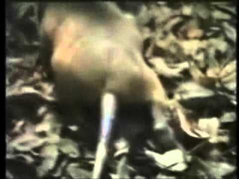 hispaniolan solenodon