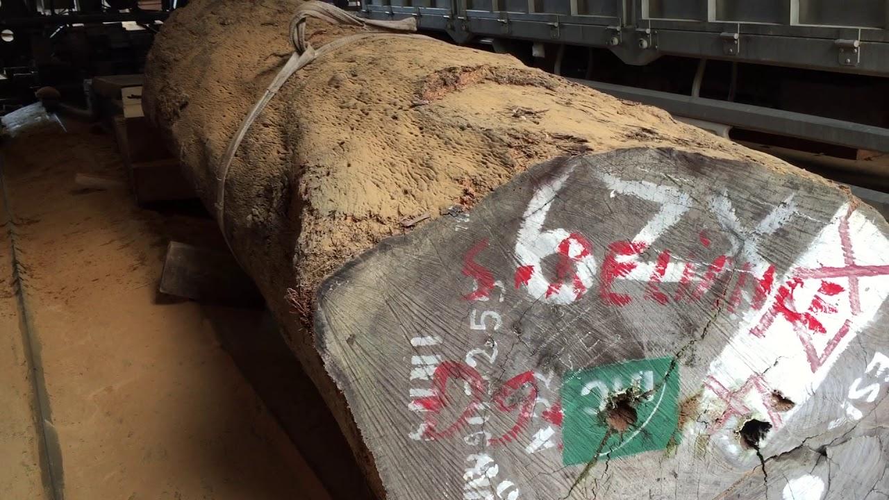 Sự thật không tưởng về những cây gỗ lim xấu xí mang lại lợi nhuận cực cao cho những người thợ mộc