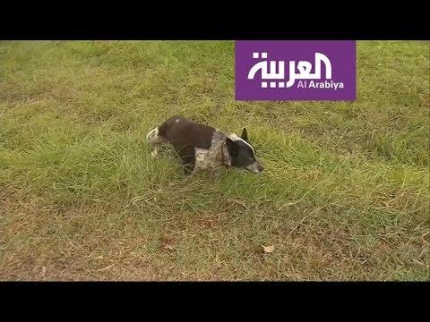 كلب أعمى ينقذ طفلة  - نشر قبل 3 ساعة