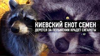 Киевский енот дерется за пельмени и крадет сигареты