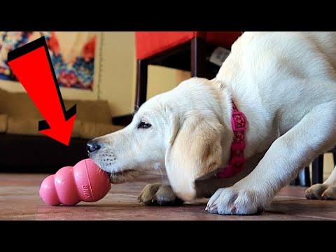 labrador-puppies-first-peanut-butter-filled-kong!
