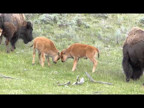 Yellowstone Bison Calves