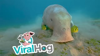 Rare footage of the Dugong!!!