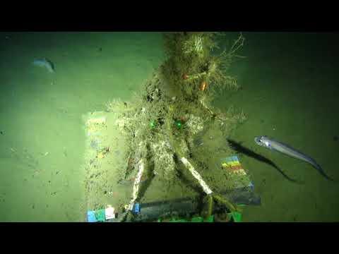 Sablefish Eats Rattail