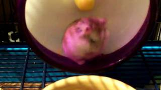 Nibble falls out of his wheel..  Silly hamster!