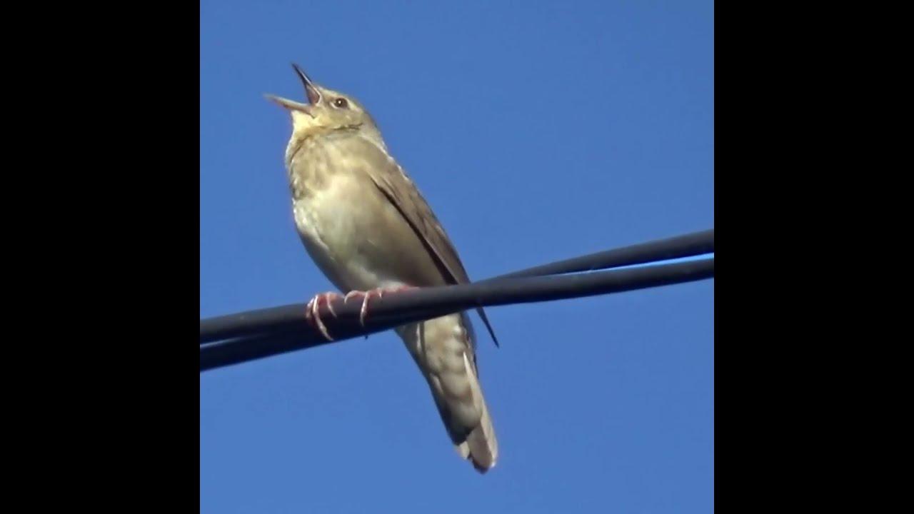 What bird chirps like a cricket and a grasshopper? / Bird voices #Shorts