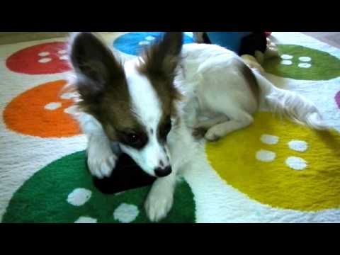 Papillon puppy at 7 months old