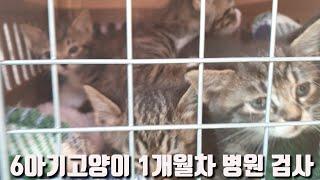 6아기고양이 1개월차 건강검진/노컷/노편집 풀영상