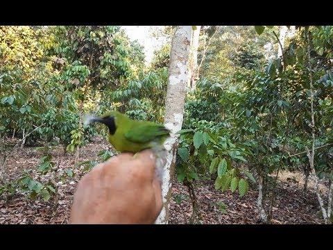 Pikat burung Cucak ijo menggunakan mp3 jitu sue channel