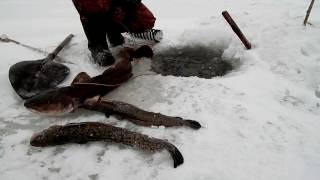 Рыбалка Налим на зимнюю удочку,налим на стук.