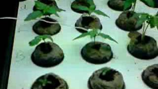 auto flowering ak47 white russian seeding s