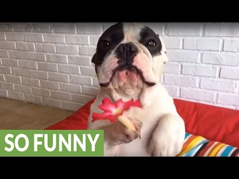 French Bulldog holds up flower in paw