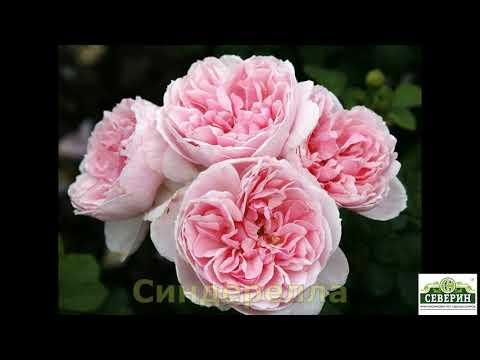 Парковые розы.  Каталог Весна 2020