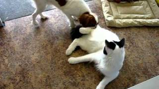 Cavilier And Maine Coon Playing 1