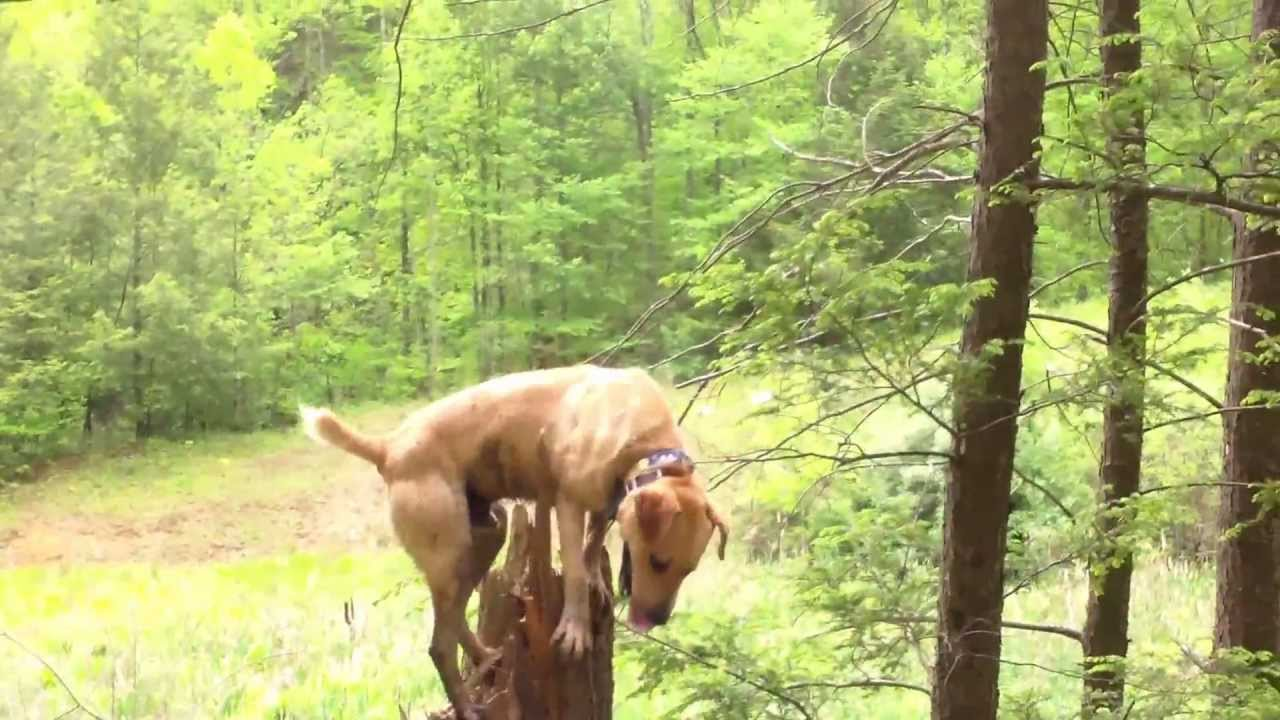 Mountain cur wood hollow kennels 11 youtube mountain cur wood hollow kennels 11 publicscrutiny Image collections