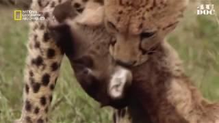 وثائقي الوحش الجامح/ الاسد المفترس عالم الحيوانات المفترسة من ناشيونال جيوغرافيك ابوضبي