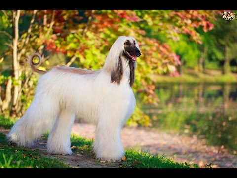 Afghan Hound - DOG LOVERS ❤
