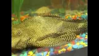 Сом на факультете прикладной биотехнологии и инженерии ОГУ(В ОГУ «зачислен» необычный «студент» — уникальный сом по имени Семен. Вот уже три месяца он живет в аквариу..., 2013-09-24T08:11:49.000Z)