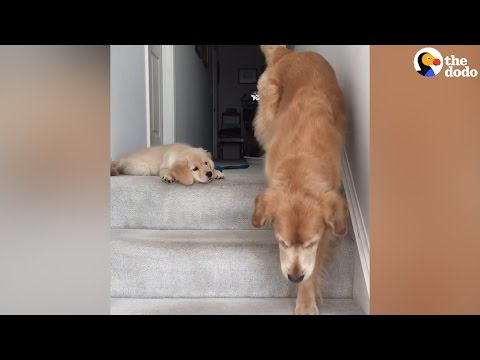 Puppy Doesn't Know How His Mom Got Down The Stairs