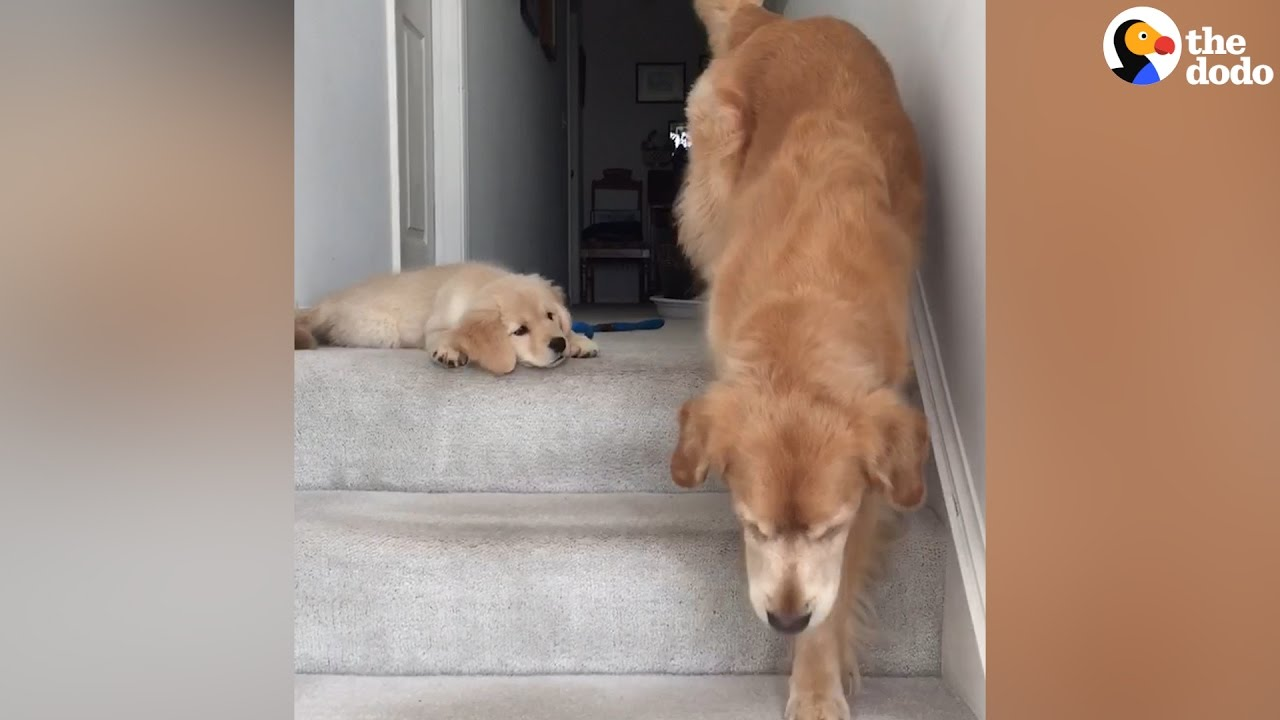 Puppy Doesn't Know How His Mom Got Down The Stairs | The Dodo