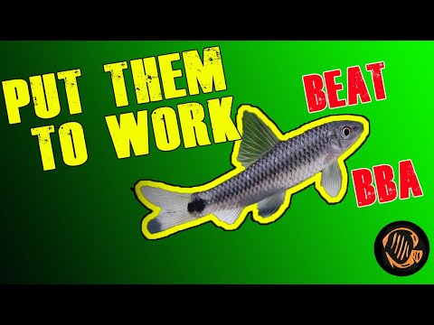 Online Aquarium Fish Order To Combat Black Beard Algae!