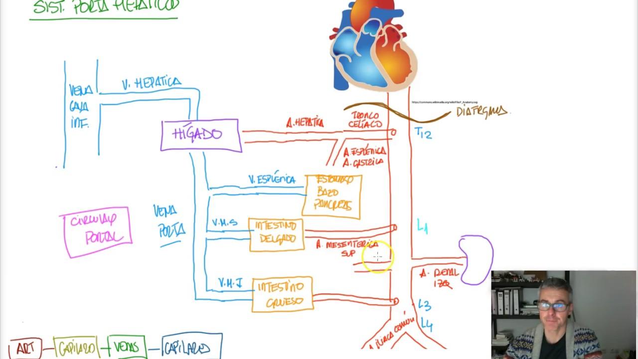 CIRCULACION: sistema porta-hepatico - YouTube