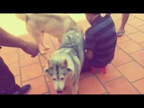 Phối giống chó Husky, Alaska, Samoyed tại banchocanh.vn