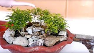 How to Make Simple and Easy Bonsai Forest (Golden-Dwarf-Pandakaki)