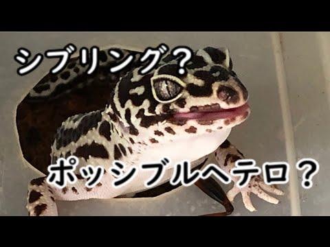 【爬虫類】レオパのモルフの謎(シブリング ポッシブルヘテロ編)