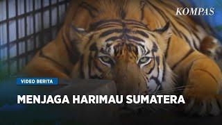 Menjaga Harimau Sumatera