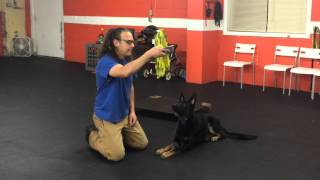 How To Waiting For Food Gsd Diy Dog Training Solid K9 Training