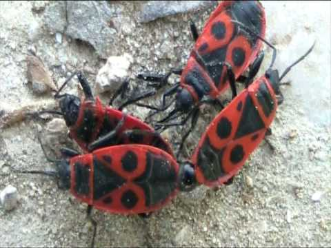 Cimici in accoppiamento mating bugs youtube for Cimici rosse