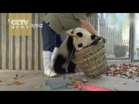 Watch: Giant pandas create trouble as staff cleans their hou