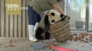 Watch: Giant pandas create trouble as staff cleans their house(