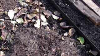 Посадка яблонь на шпалере. www.globusbm.com(, 2013-10-22T12:37:32.000Z)